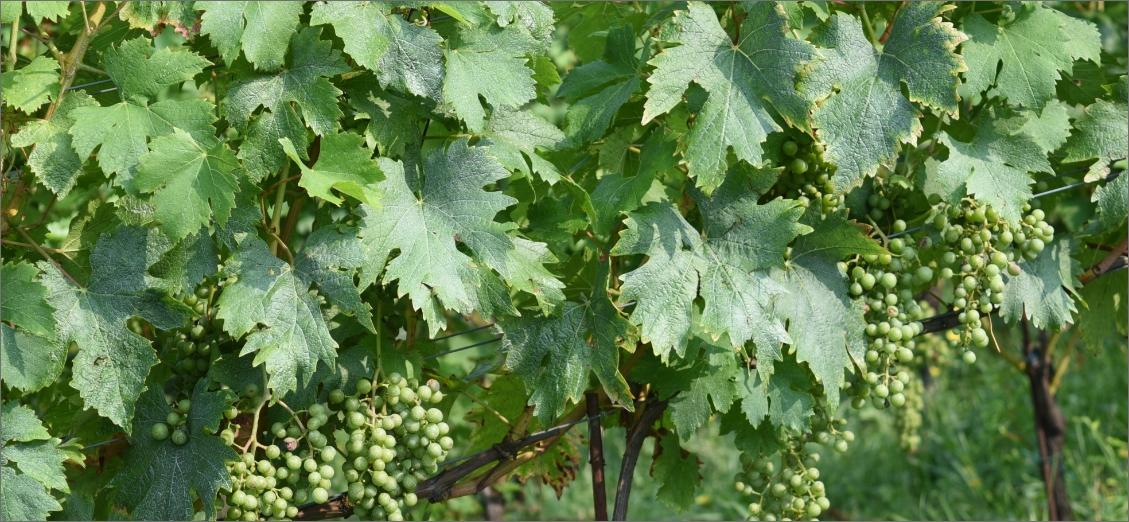 vite-vino-biologico-bergamo