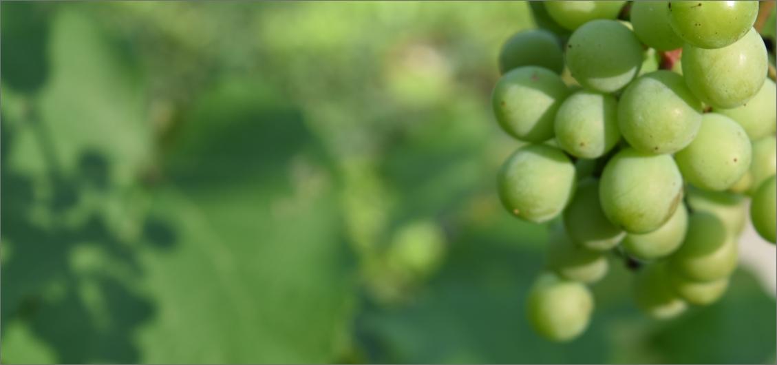 uva-viti-bergamo-parco-dei-colli-franciacorta